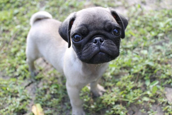 10 Things Only a Pug Owner Would Understand