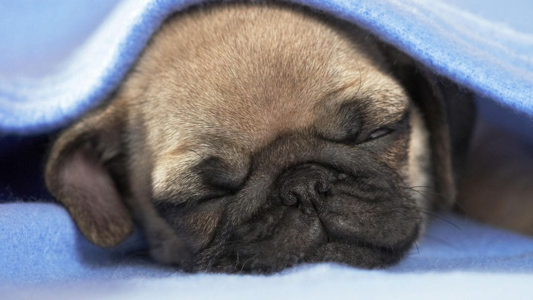 pugs-puppies-sleeping
