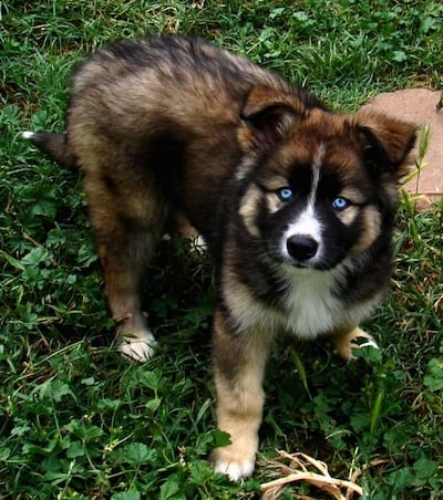 husky german shepherd mix gerberian shepsky