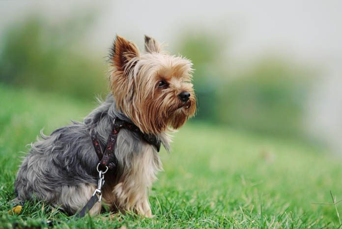 All About Yorkie Shedding Do Yorkies Shed Grooming Tips
