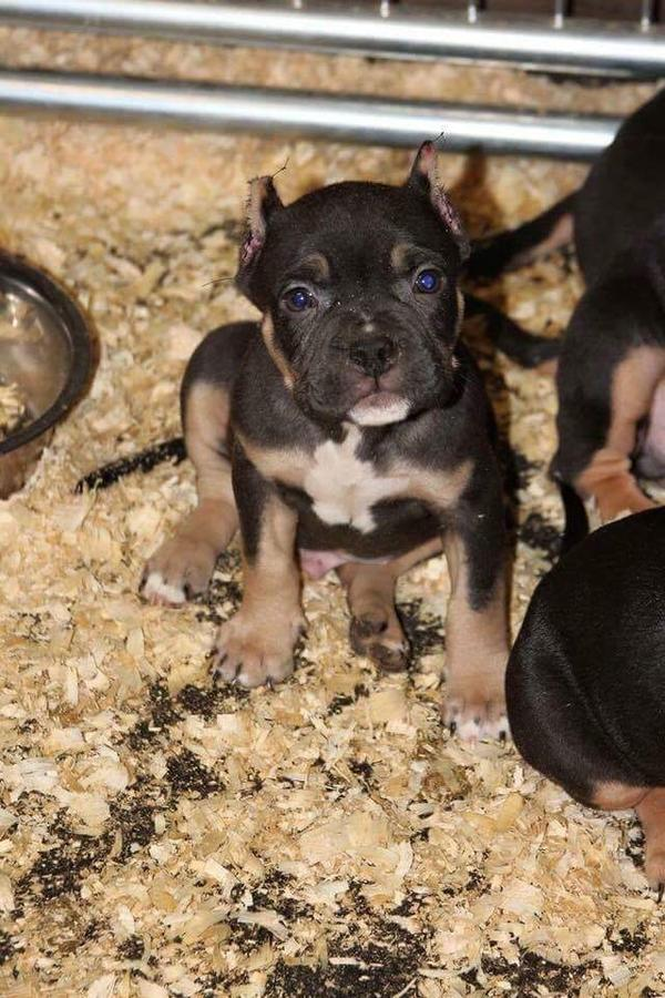 American Bully For Stud Service Puppies Club
