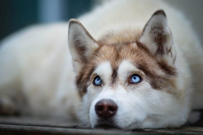 10 Amazing Things About Siberian Husky Husky Facts