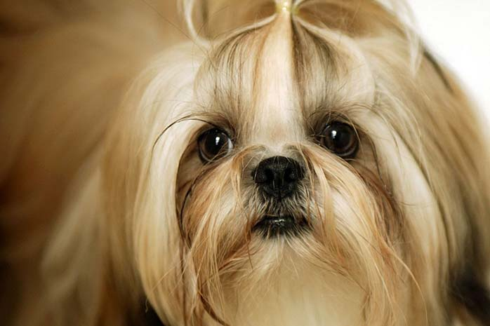 shih tzu hair puppy