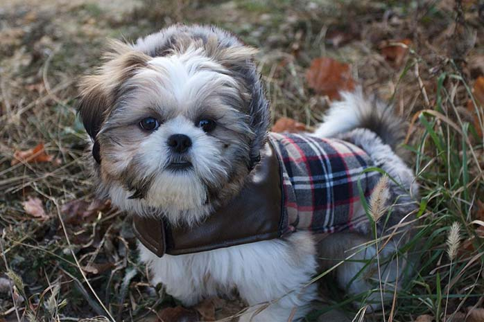 10 Amazing Things About Shih Tzu Dogs Shih Tzu Facts