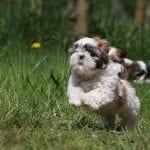 Top 10 Benefits Of Having A Shih Tzu Dog