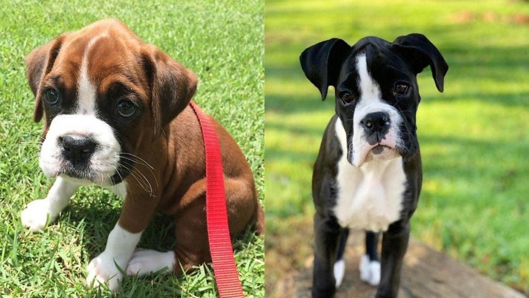 boxer-dogs