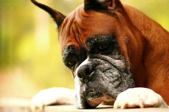 boxer dog eyes