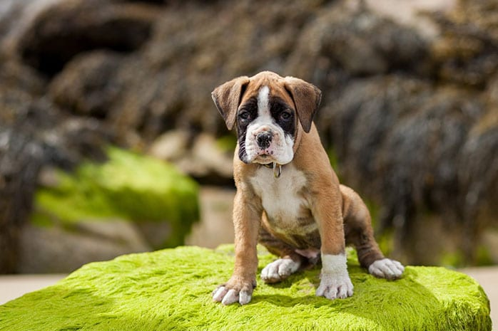 boxer puppy outdoor
