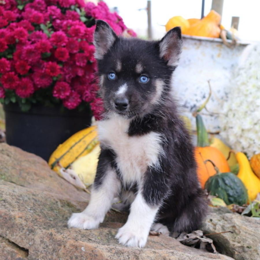 Siberian Husky puppy for sale - Puppies Club