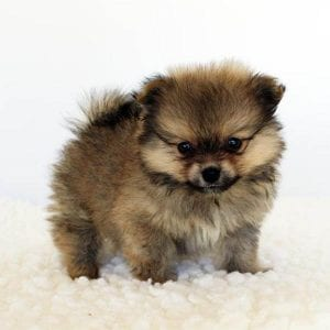 teacup pomeranian dog