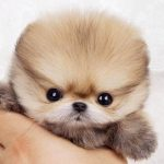 All You Need to Know About Teacup Pomeranian Dog