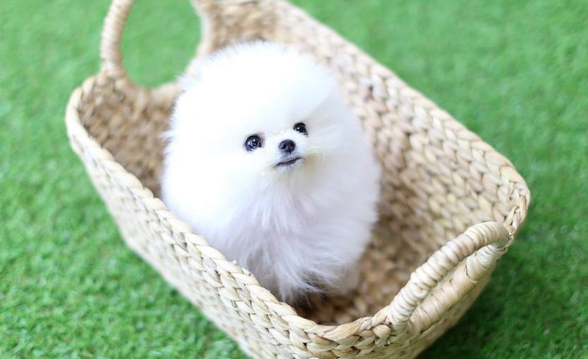 white teacup pomeranian dog