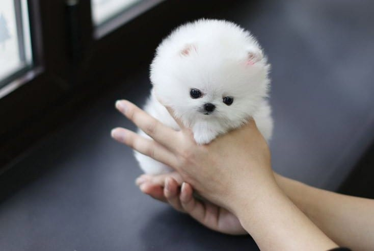white teacup pomeranian puppies
