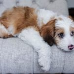 brown and white aussiedoodle dog photo