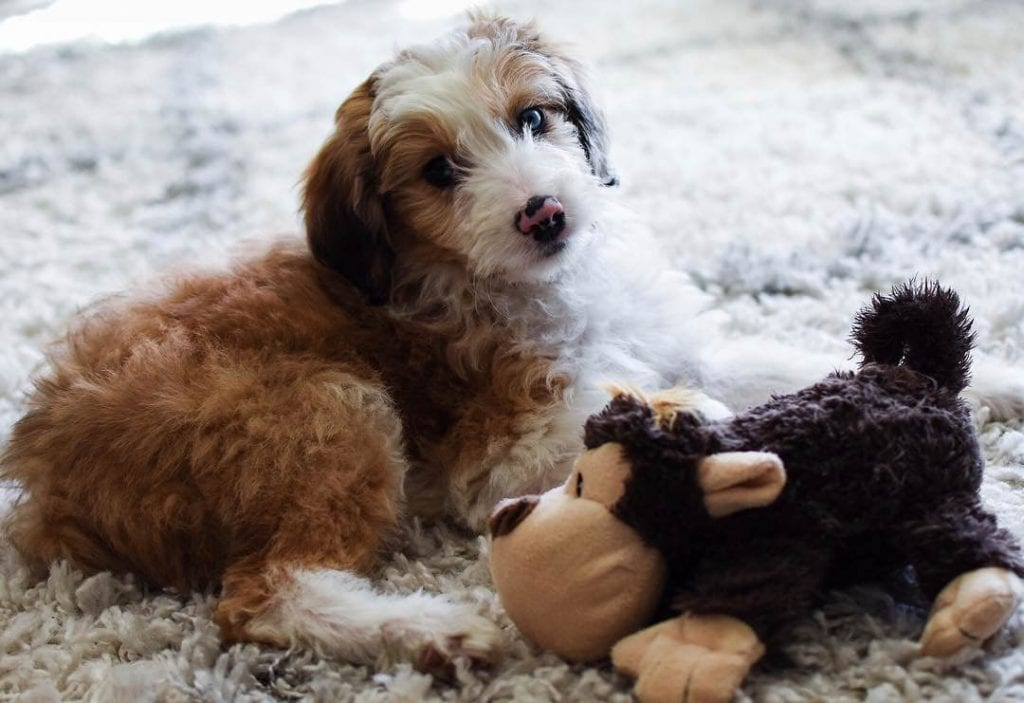 aussie doodle puppy with toy