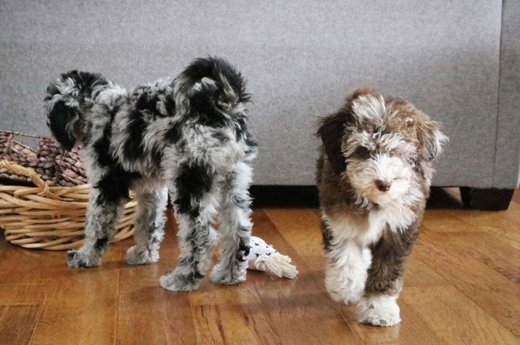 two aussiedoodle puppies