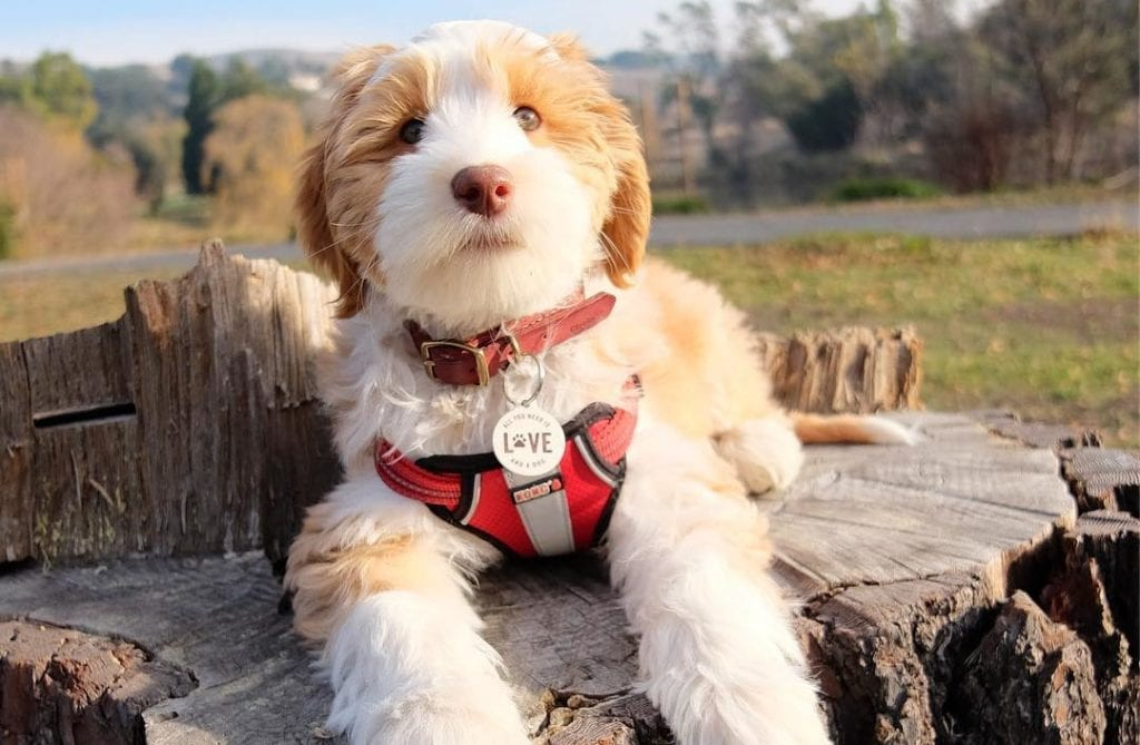 white mini aussiedoodle dog