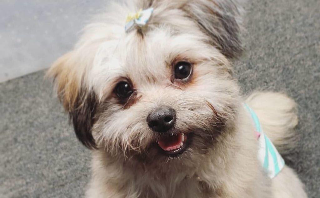 shiranian shih tzu pomeranian mix dog