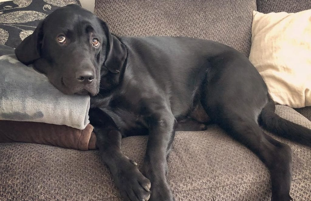 black mastiff lab mix mastador