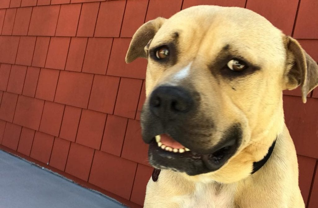 mastiff lab mix mastador dog