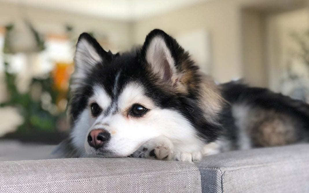 husky and pomeranian mix dogs pomsky 12 surprising facts about pomeranian husky mix 7924