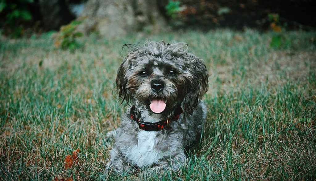 shorkie shih tzu terrier mix
