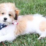 shorkie shih tzu yorkie mix