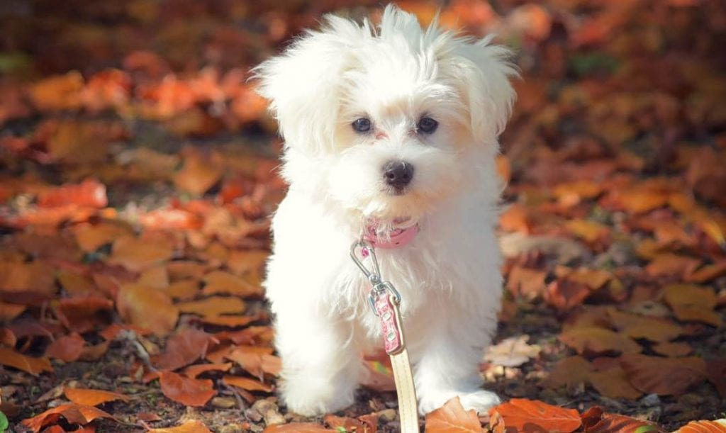 teacup maltese dog