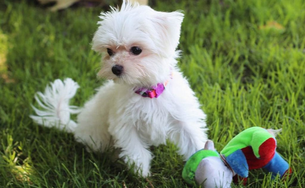 toy maltese puppy