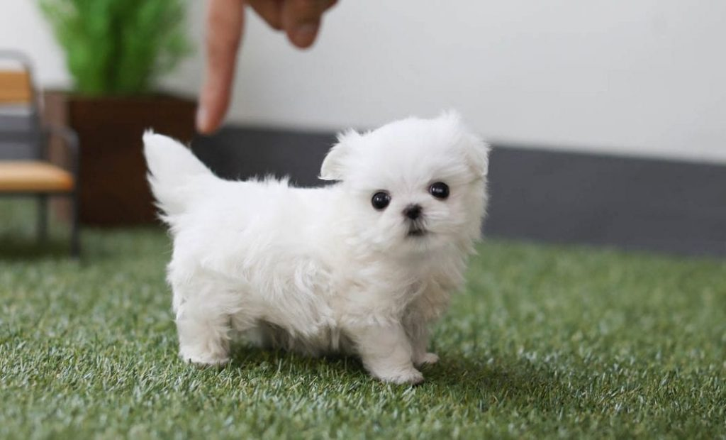 white teacup maltese puppy