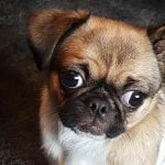 chihuahua pug mix dog