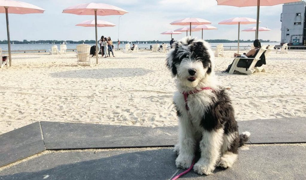 old english sheepdog poodle mix