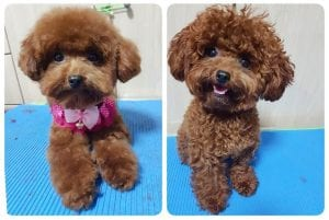 poodle haircuts styles