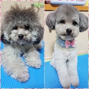 Poodle Haircuts Top 35 Amazing Poodle Cut Images