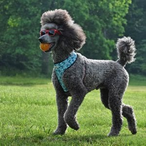 poodle haircuts 25
