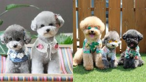 poodle haircuts