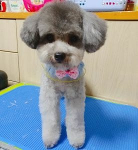 short poodle haircuts
