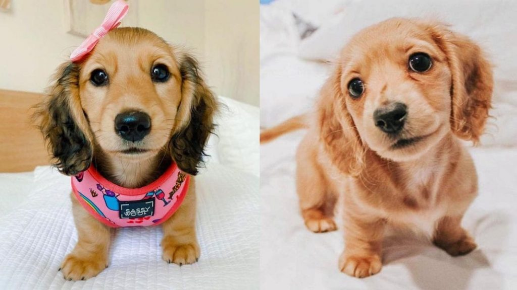 10 Amazing Things about Dachshunds Dogs