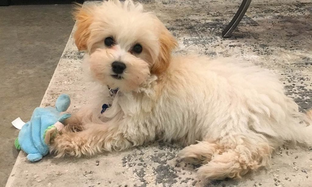 teacup maltese poodle mix