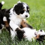 bernedoodle dog bernese mountain poodle mix