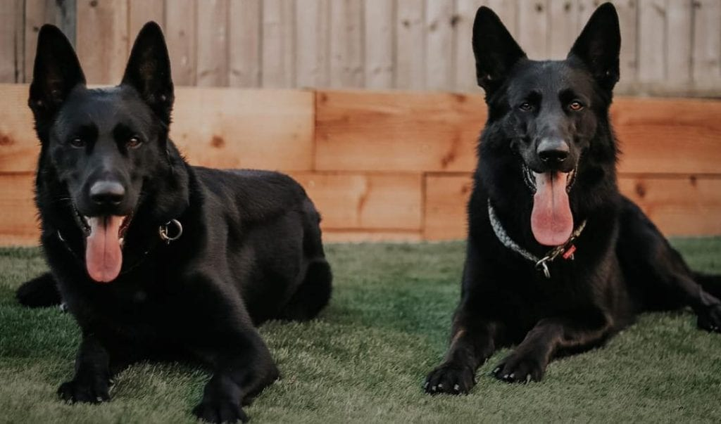 Black German Shepherd 11 Things You Should Know Before