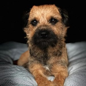 border terrier teddy bear dog