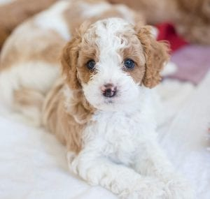 cavapoo teddy bear dog