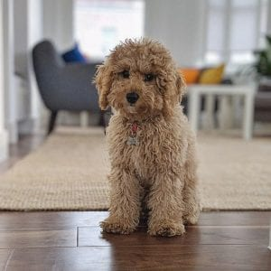cockapoo teddy bear dog
