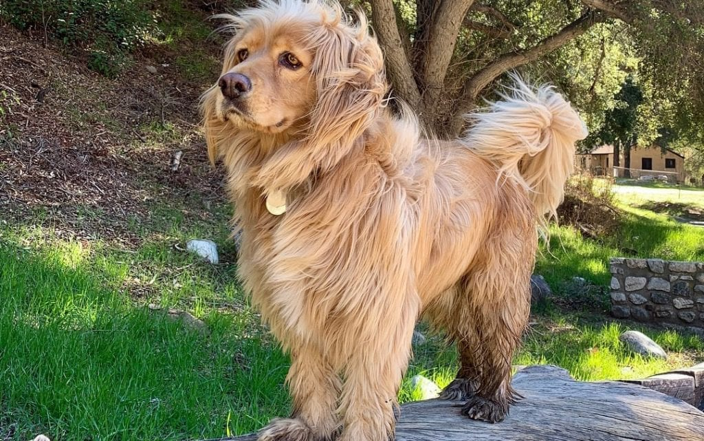 golden cocker retriever shed