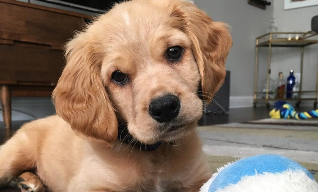 golden cocker retriever spaniel mix dog breed