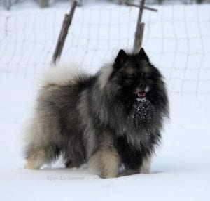 keeshond teddy bear dog