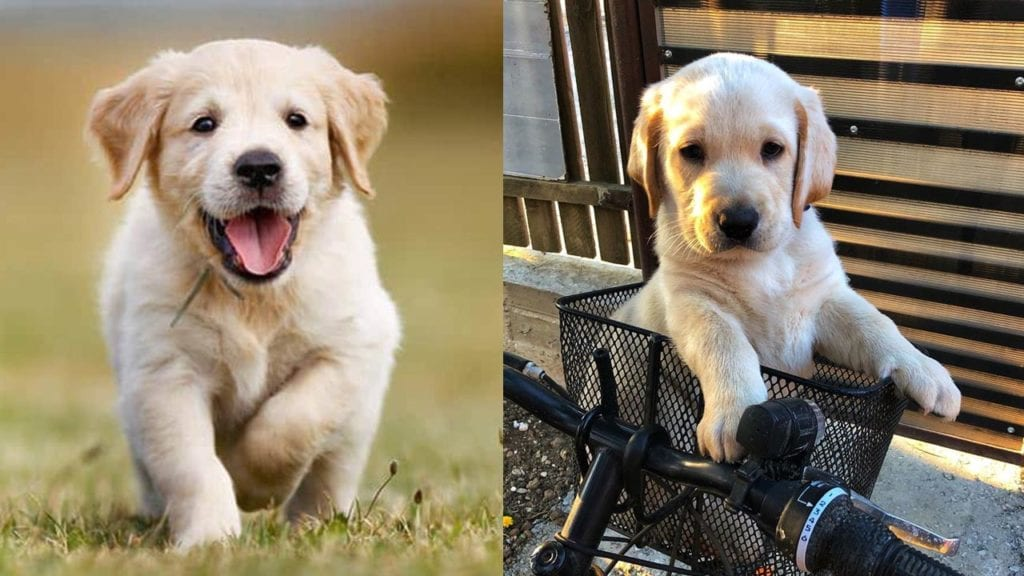 10 Amazing Things About Labrador Retrievers