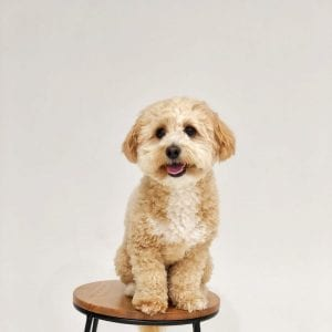 maltipoo teddy bear dog breed