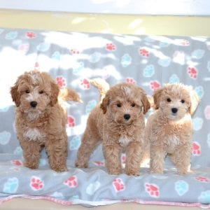 Miniature Goldendoodle Teddy Bear Dog